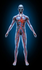 Human Blood Circulation