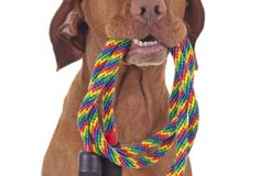 dog with colorful baseball hat holding a skipping rope in mouth on white background